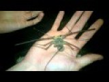 Another Boring Whipspider Video