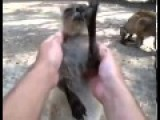 0:22 New Animal Funny Videos 2014 Baby Kangaroo Really Enjoys Massage Funny Videos