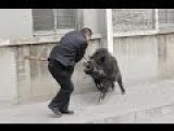 Wild Boar In The City Center Attack People
