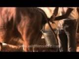 India Cow Urine Collection Technique