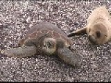 Baby Sea Lion Rides A Turtle