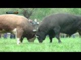 Bull Fighting In The Balkans