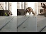 Moment Racoon Loses Its Rag When Homeowner Tries To Remove It