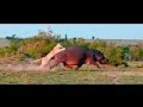 Lion Vs Hippos Lion Kill Hippos Compilation 2015 HD