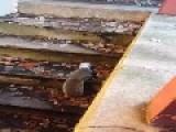 Squirrel's Head Stuck In Yogurt Cup