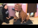 Biggest Bully Pitbull On Earth ON SCALE 173lbs 17 Months THE HULK!
