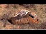 Tiger Kill A Brothe