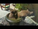 Bear Cubs Caught Cooling Off In Water-filled Planter At Pasadena Home