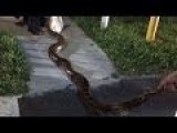 12-Foot Python Trapped In Barbecue Grill By Florida Residents