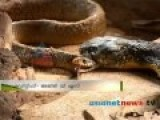 King Cobra Eats A Rat Snake