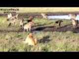 15 HYENA VS LION,Whether A Lion Can Survive??
