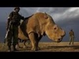 24 7 Armed Guards Protect Male Rhino: Last One Left Of Its Kind!