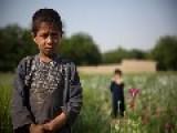 Opium Fields In Afghanistan - Part II