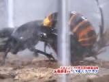GIant Hornet VS Stag Beetle