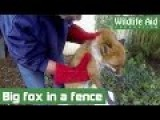 Sad Fox Rescue Reminds Us Wildlife Faces Many Unseen Dangers
