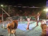 Lion Attack In A Circus