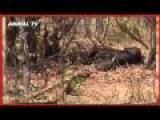 2 LIONS KILL BUFFALO