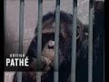 Chain-Smoking Chimp