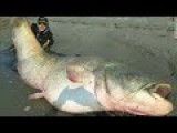 280 Pound Catfish Caught