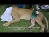 Skyvets Save Lioness With A Gaping Wound