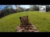 GoPro On A Cheetah
