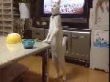 Japanese Cat Walks Backwards On Hind Legs