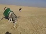 Donkey Kills A Fox - WTF?!