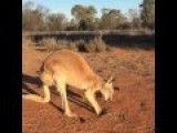 Kangaroo Loves To Scratch And Nap