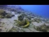 Moray Eel Rescue In The Gold Coast Seaway :D