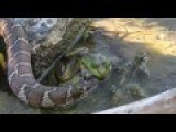Snake Eating A Frog As The Frog Eats The Snake