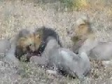 3 Male Lions Eating A Screaming Warthog - Kruger National Park