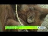 3 Month Old Baby Orangutan Attracts Visitors At US Zoo