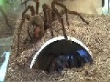 **Goliath Bird-eating Spider Breeding**
