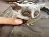 4-Month Old Bush Baby Emerges From Jacket Pocket