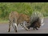 Real Fight - Leopard Vs Hedgehog | Leopard Attack Hedgehog...!!! HD