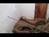 **COBRA SNAKE Egyptian VS Chickens**