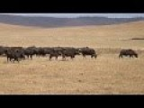 Fine Balance Between Lions And Buffalo Interfered With By Fat Cat Tourists