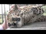 Jaguar Purrs While Getting A Massage