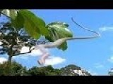Real Flying Snake - AMAZING