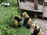 Female Panda Watches As Males Do Battle