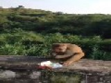 Giving Boby Trapped Food To Monkey