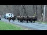 Buffaloes Shot After Crossing NY Highway