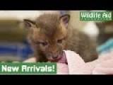 Fluffy Fox Cubs Saved From Turkey Farm