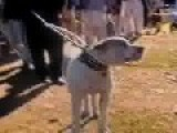 Pakistani Bully Kutta Breed Fighting Dog