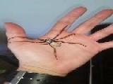Handling A Huge Australian Spider