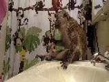 Regal Looking Monkey Enjoys Being Groomed