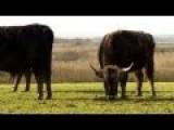 'Nazi' Cattle Devon Farmer Forced To Cull Part Of Herd UK