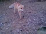 Rabid Fox Attack