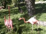 Insane Fight Of Pink Flamingos