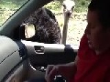 Ostrich Attacks Passenger In Car